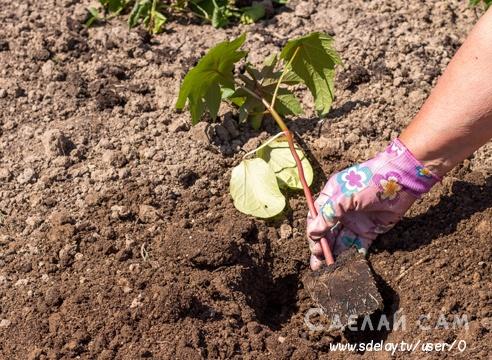 Выращивание клещевины: посадка и уход