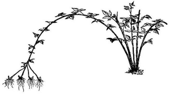 Как вырастить черноплодную малину? Советы опытных садоводов