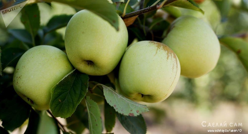Яблоня. Как собрать и хранить урожай более 6 месяцев?