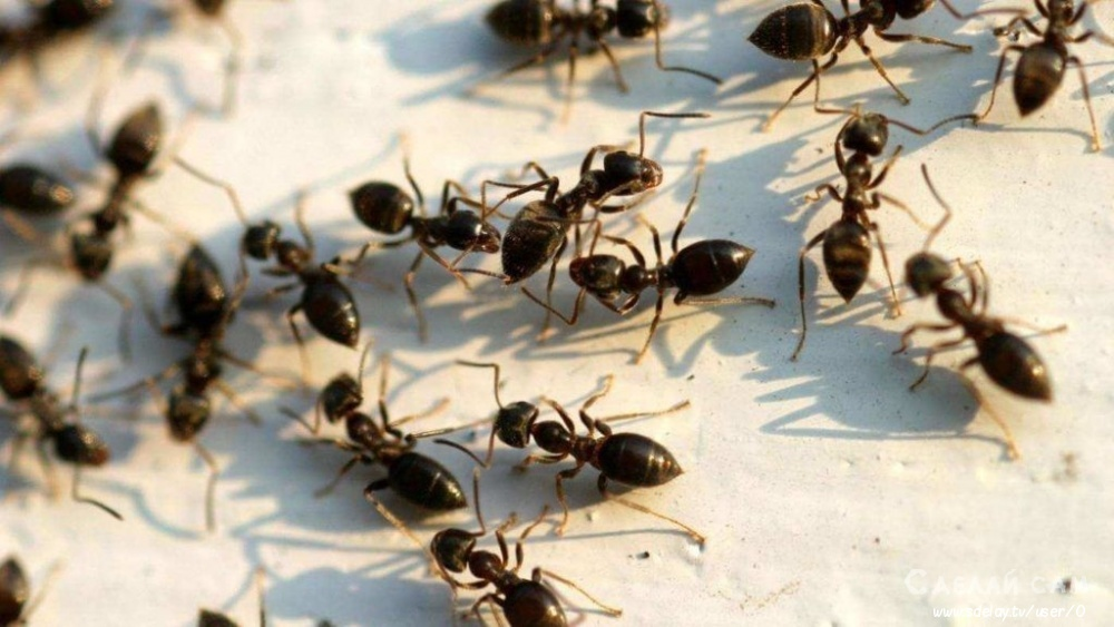 Садовые муравьи на приусадебном участке – польза, вред, народные методы борьбы