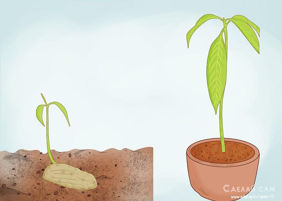 Как вырастить манговое дерево из косточки? Пошаговая инструкция