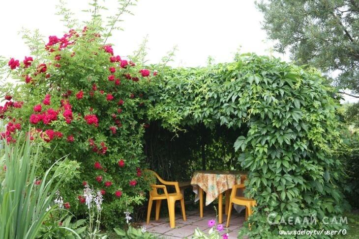 Дикий виноград: оригинальное применение вьющихся растений