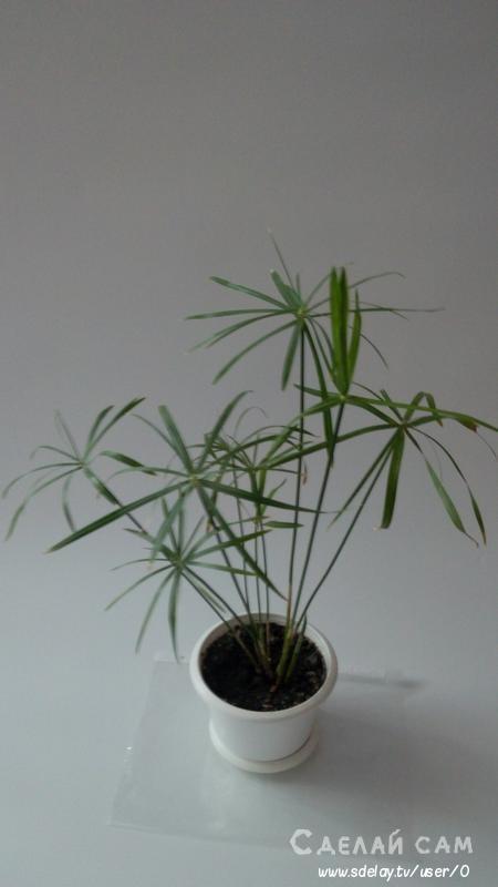 Циперус: маленькая пальма в комнате. Уход, выращивание