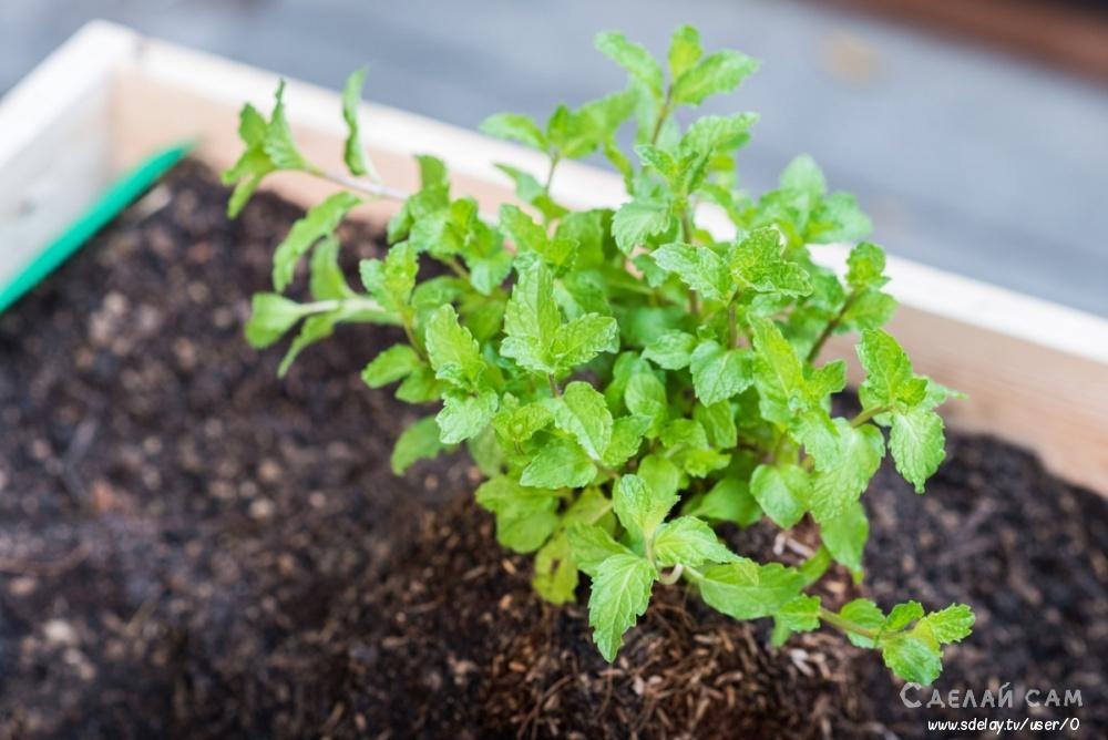 Как правильно посадить и вырастить мяту в своем огороде?