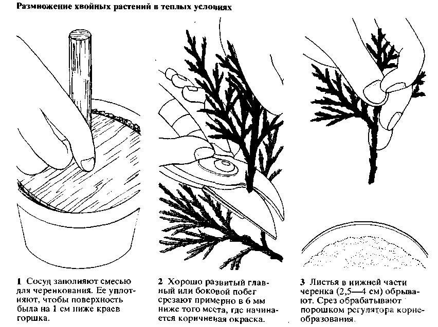 Размножение можжевельника черенками cвоими руками