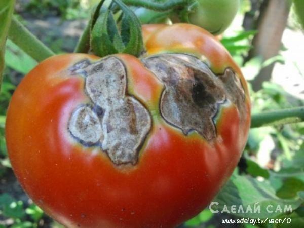 Чем обычно болеют помидоры? Профилактика болезней