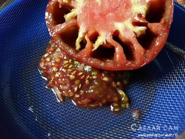 Как правильно собрать семена томатов в домашних условиях?