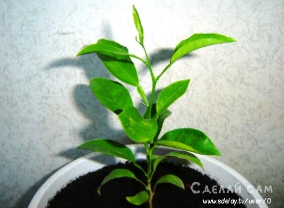 Как вырастить апельсиновое дерево в домашних условиях?