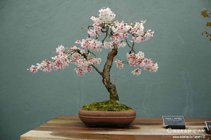 Искусство бонсай. Как создать стильный мини-сад в квартире?
