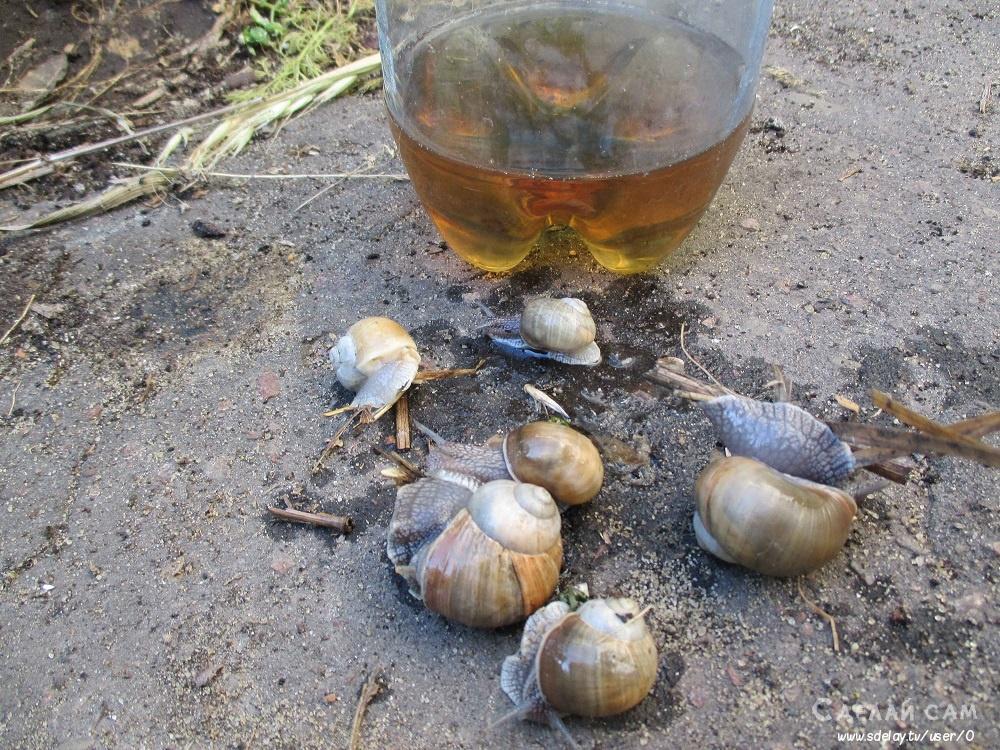 Борьба с виноградными улитками: все самые действенные способы