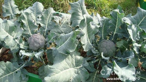 Выращивание брокколи в саду - сорта, посадка, уход, болезни
