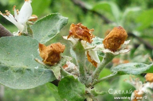 Яблоневый цветоед. Как защитить сад от этого вредителя