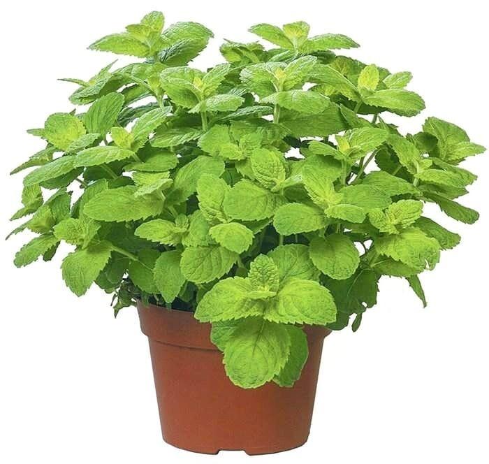 Особенности выращивания комнатной мяты (плектрантуса) в домашних условиях
