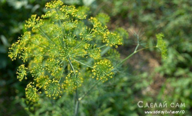 Укроп: Посадка и Выращивание укропа в открытом грунте
