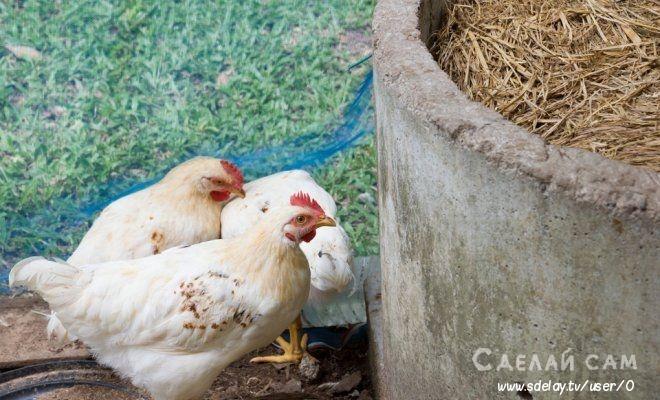 Как правильно использовать куриный помет для удобрения?