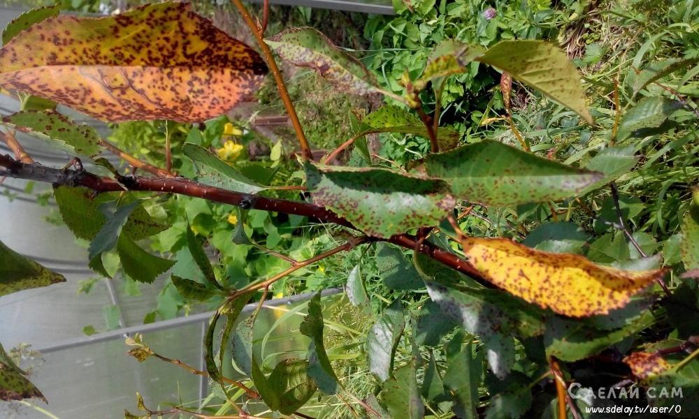 Грибок на вишне: самые распространенные болезни и способы борьбы с ними