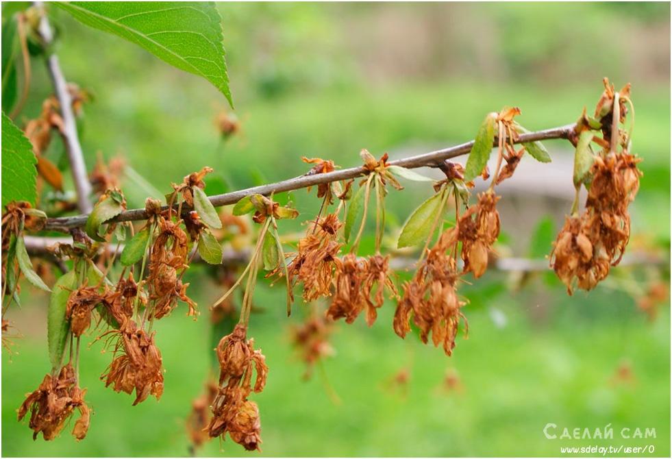 Вишня: сорта, устойчивые к болезням