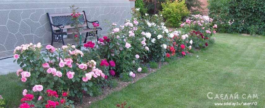 Роза: как правильно сажать, выращивать, ухаживать за кустом роз?
