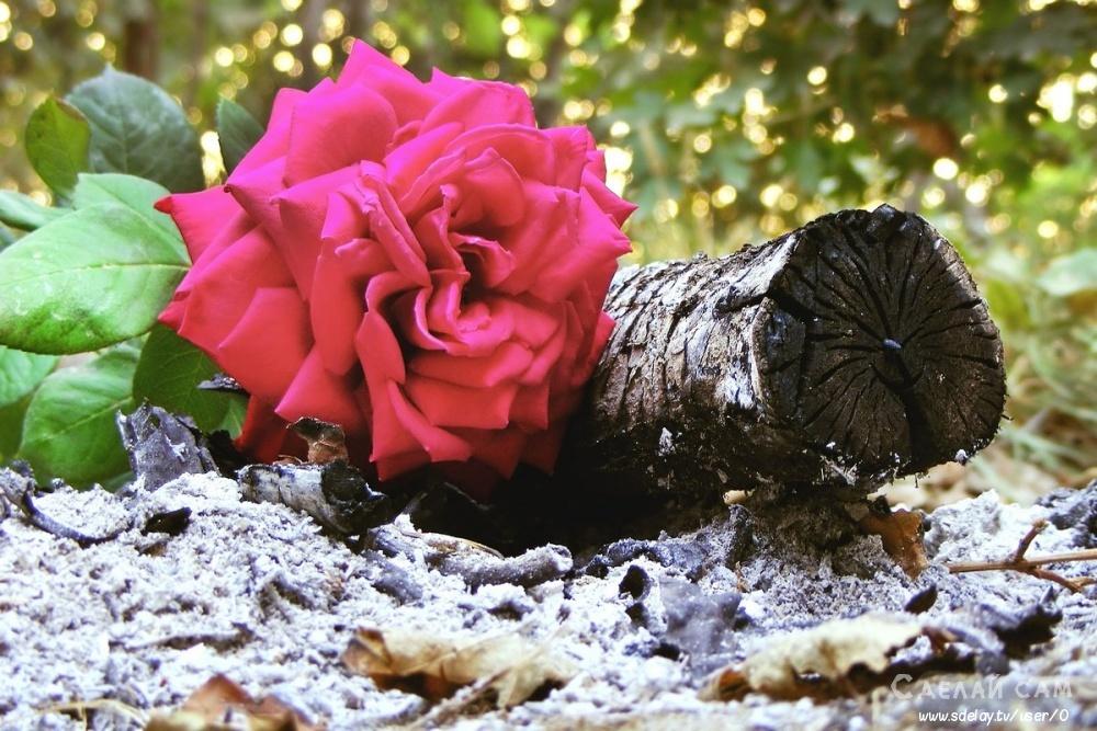 Как бороться с тлей на розе? С химией или без