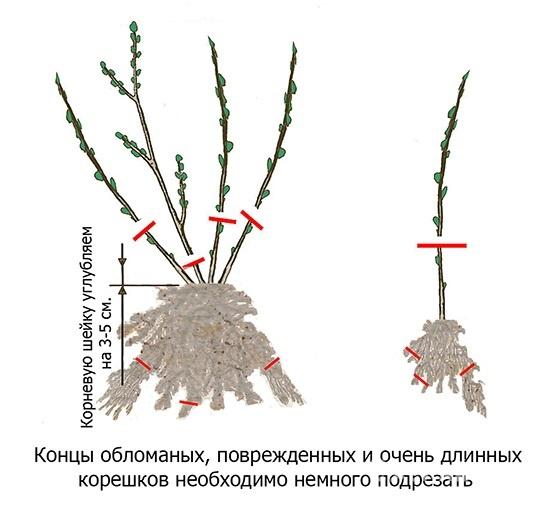 Подготовка кустов ежевики к зиме: Обрезка, Подкормка, Уход