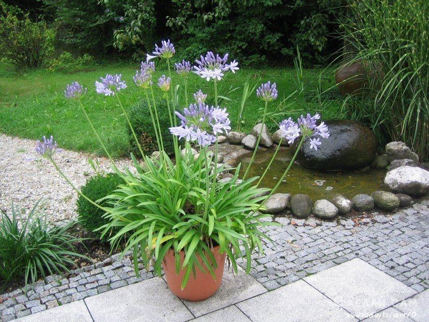 Агапантус в саду. Украшаем сад на даче, своими руками!