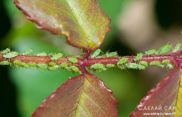 Зелёная яблонная тля. Как защитить сад от этого вредителя