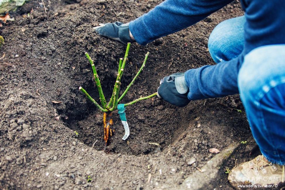 Выращивание садовых роз в открытом грунте для новичков