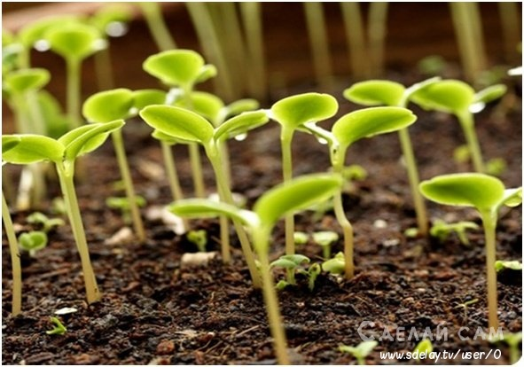 Садовая незабудка: сорта, посадка и уход