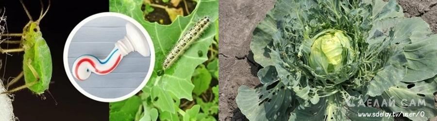 Как отпугнуть белянок и ее гусениц от капусты с помощью зубной пасты?
