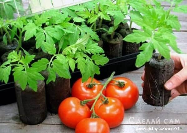 Как правильно выбрать рассаду помидоров? Полезные советы