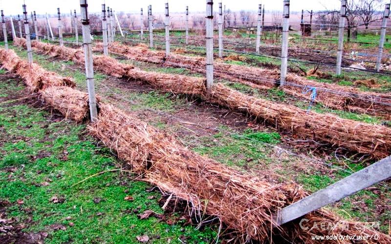 Как подготовить виноград к зимовке своими руками ?
