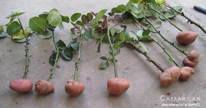 Как укоренить розу из букета? Подробные рекомендации