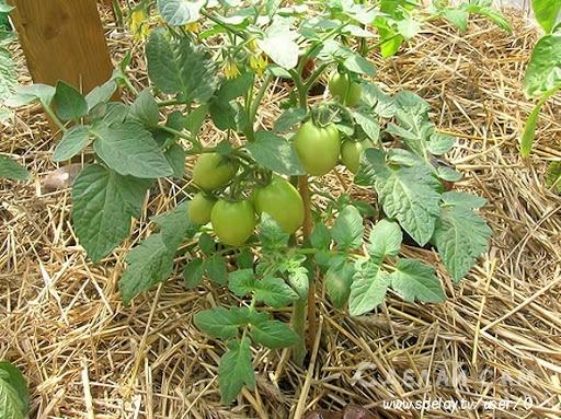 Почему желтеют листья помидоров в теплице?