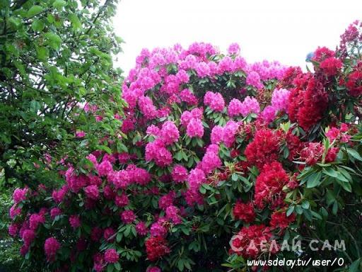 Азалия - капризная принцесса цветов. Особенности посадки и ухода