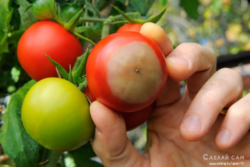 Почему помидоры чернеют на кустах и как их лечить