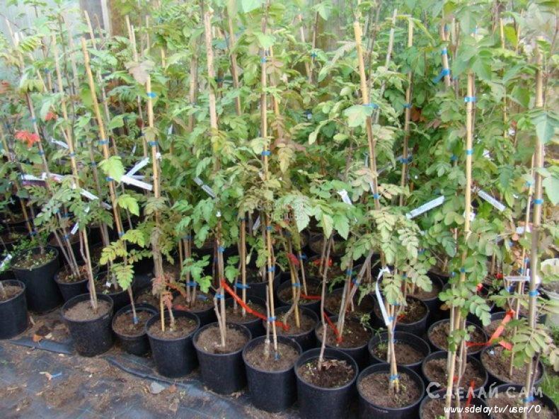 Выращивание рябины на участке. Особенности и секреты