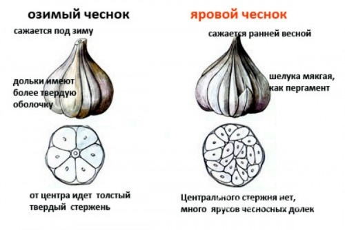 Посадка и выращивание озимого чеснока