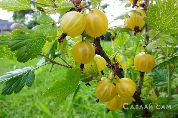 Выращивание крыжовника: Сорта, Выращивание, Уход