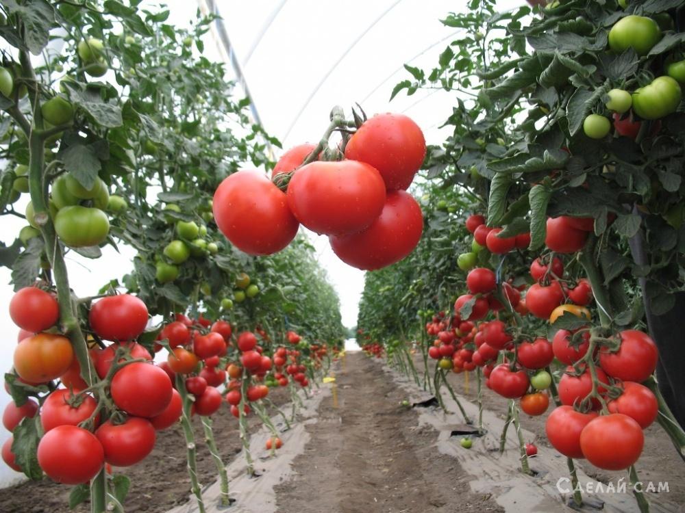 Как правильно сажать помидоры? Пошаговое руководство от проращивания семян до высадки в грунт