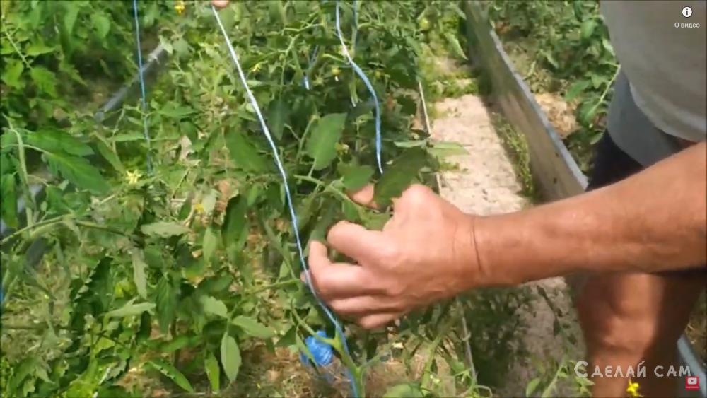 Простой и удобный способ подвязки помидоров в теплице