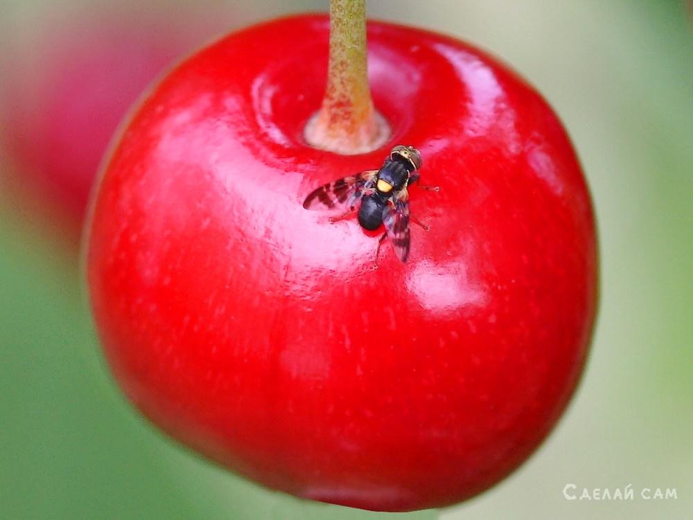 Вишнёвая муха. Как защитить сад от этого вредителя