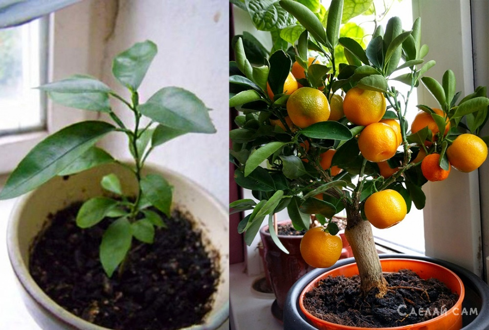 Как вырастить мандарины на подоконнике?
