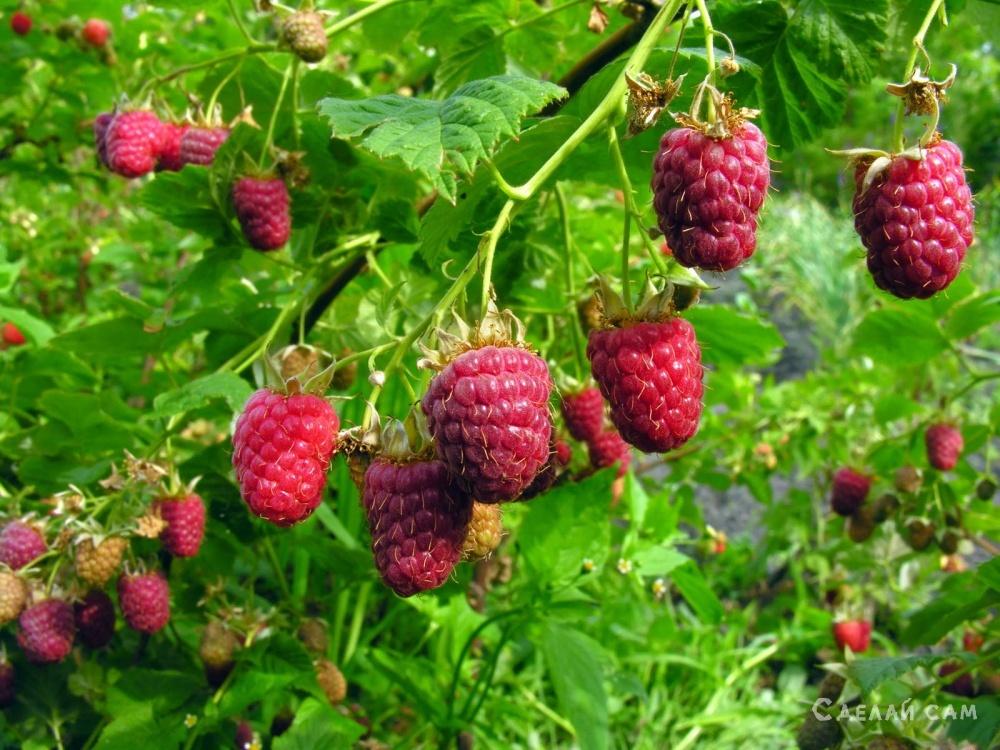 Выращиваем малину на дачном участке: Сорта, Посадка, Уход