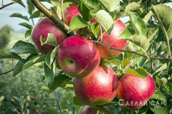 Яблоня сорта Серебряное копытце: посадка, уход, болезни