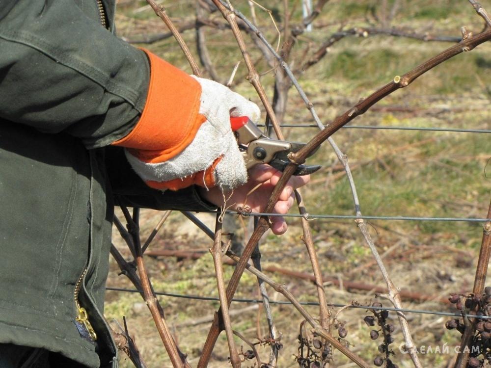 Обрезка винограда. Оптимальные способы формировки куста