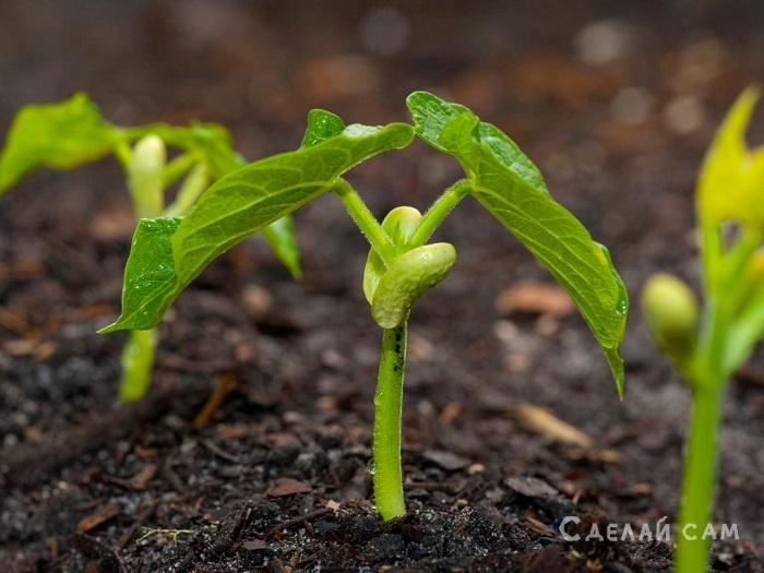 Фасоль - выращивание и уход
