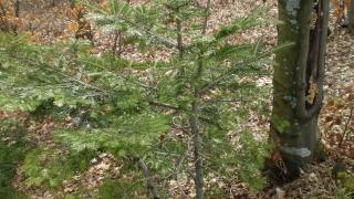 елочка,которая растет из бука