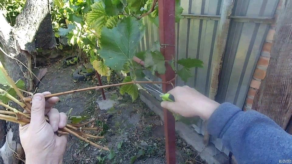 Виноградная Лоза. Заготовка и хранение.