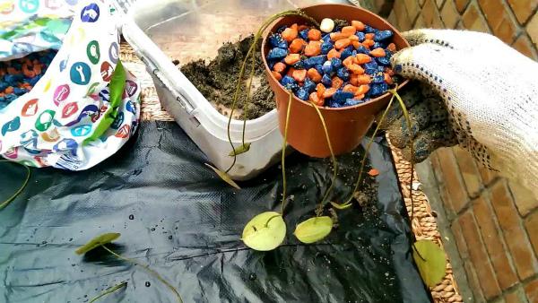 Выращивание Лотоса из семян
